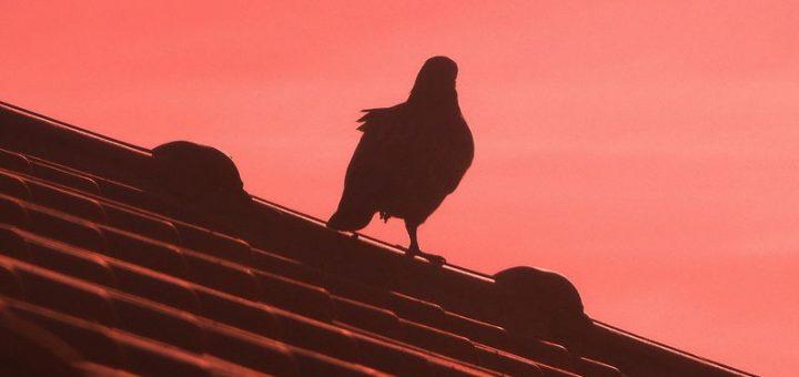 Burung atas bumbung